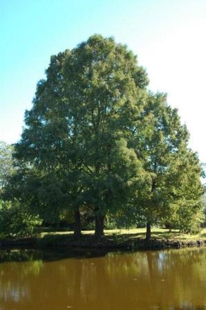 Montezuma Cypress (Taxodium mucronatum) (Organic) content img.4725.img