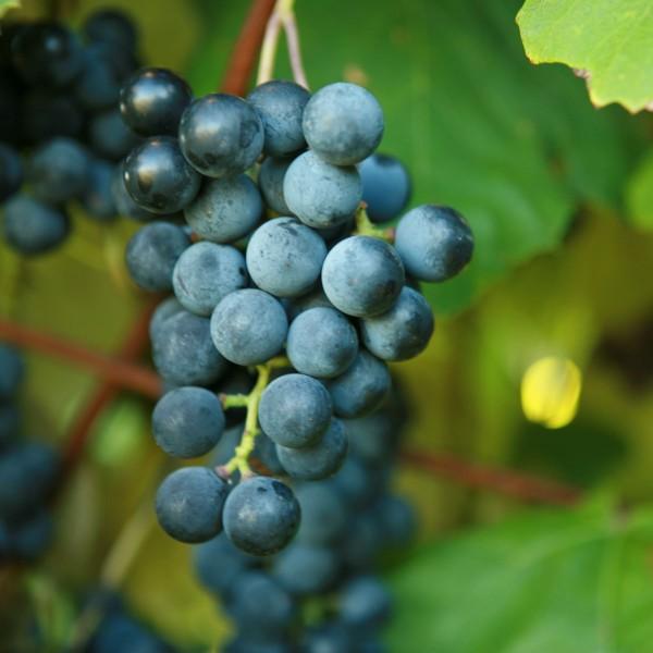 Van Buren Grape doubleavineyardsvanburen2grapevines