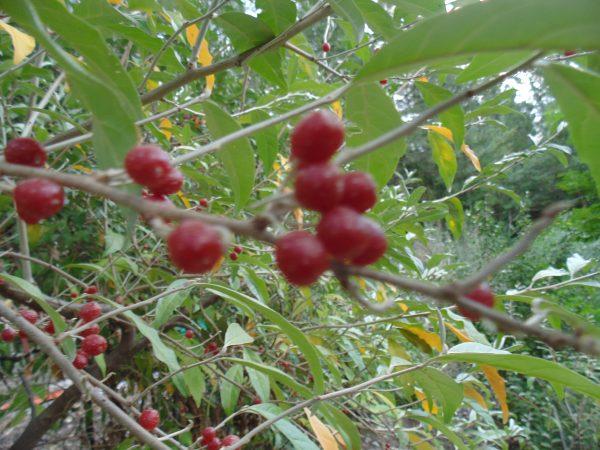 Garnet Autumn Olive (Organic) dsc00615 scaled