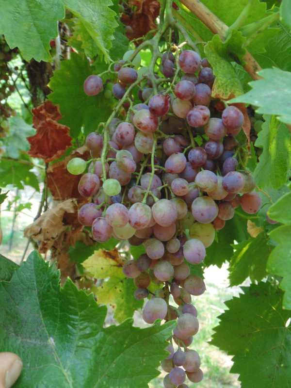 Ruby Grape dsc01587 scaled