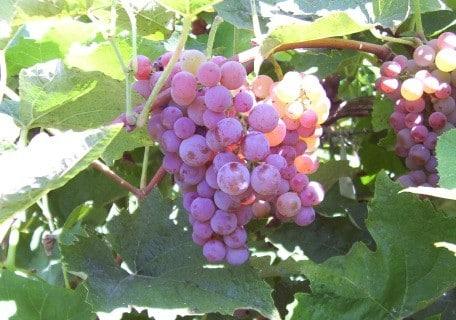 Canadice Seedless Grape f77ce9784050a6d2b3f1b33aca7ac507