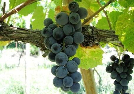 Venus Grape fa2c96e3e7062fe00f28f570acd4feb1