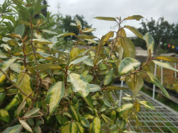 Golden Silverberry (Elaeagnus pungens 'Maculata) (Conventional) goldensilverberry scaled