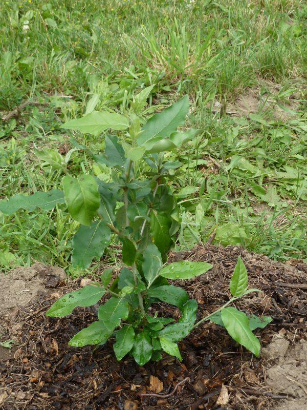 Goumi Seedlings (Organic) goumi1 scaled