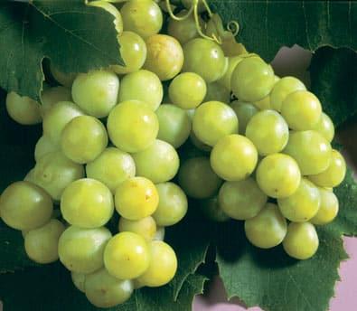 Niagara Grape grape white niagra