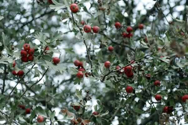 Cherry Hawthorn (Crataegus spp.) (Organic) hawthorntree1 scaled