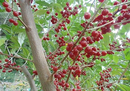 Jewel Autumn Olive 5 Plant Special (Organic) jewelf6