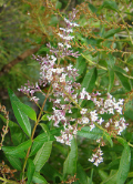 Lemon Verbena (Organic) lemonverbena