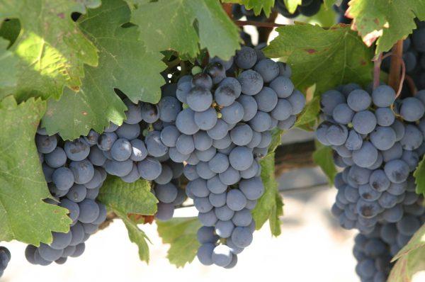 Malbec Grape malbec grapes