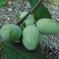 Mango (Organic) mango pawpawt