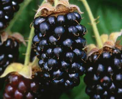Marion (Conventional) marionberries (2493507934)