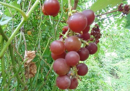 Moored Grape mooredf