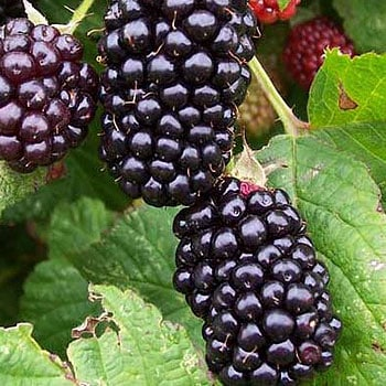 Obsidian Blackberry obsidianblackberry