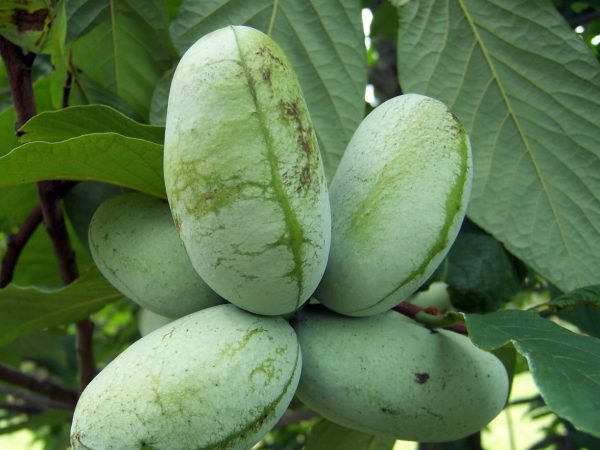 Shade Tolerant Fruit Special (Organic) pawpawtree