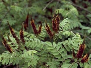 Amorpha Fructiosa (Organic) pcd3538 img0027