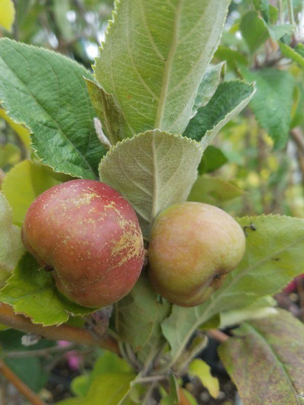 Pink Pearl Apple pinkpearlapple scaled