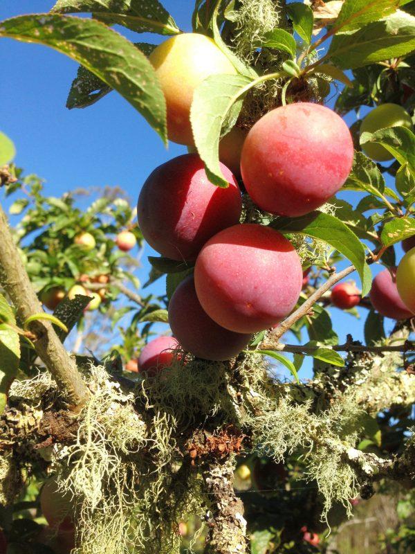 Bounty Plum (Prunus nigra) (Organic) plumtree scaled