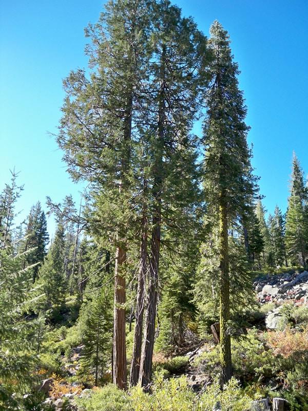 Port Orford Cedar (Chamaecyparis lawsoniana) (Organic) poc trinity jamesrnelson lg