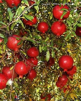Sumbarskii (Organic) pomegranates1