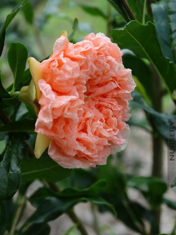Nochi- shibori (Organic) pomnos3