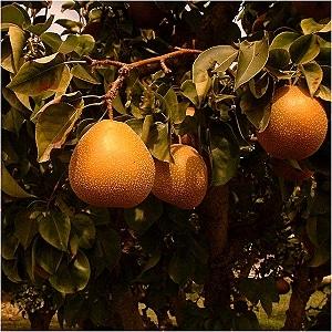 Raja Asian Pear (Organic) raja