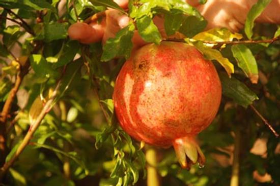 Salavatski (Organic) russianpomegranatedsc 0993 edited1