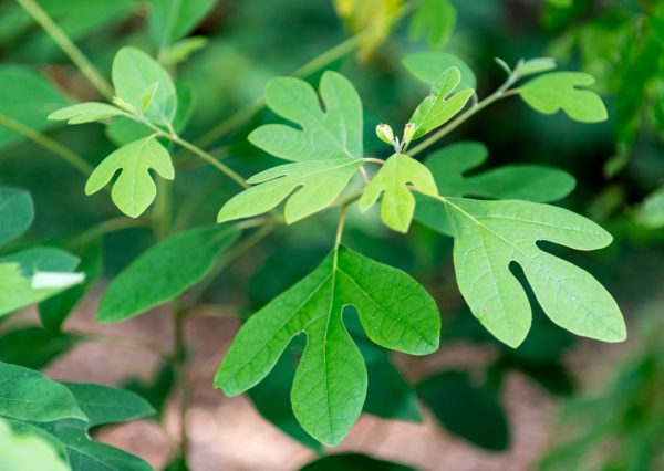 Sassafras sassafras leaves june nbg (261691941)