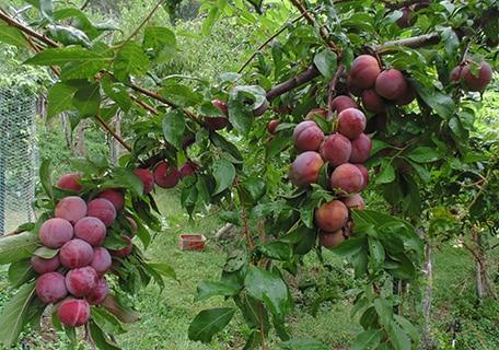 Satsuma (Organic) satsuma plumf