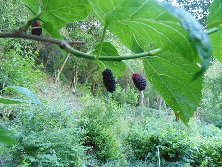 Shangri La Mulberry shangrila mulberry