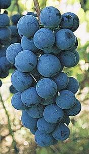 Steuben Grape steuben05
