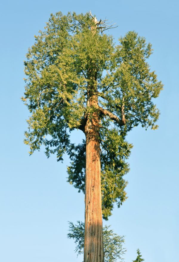 Western Red Cedar (Thuja plicata) (Organic) thuja plicata vancouver scaled