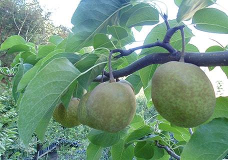 Tsu Li Asian Pear (Organic) tsu lif