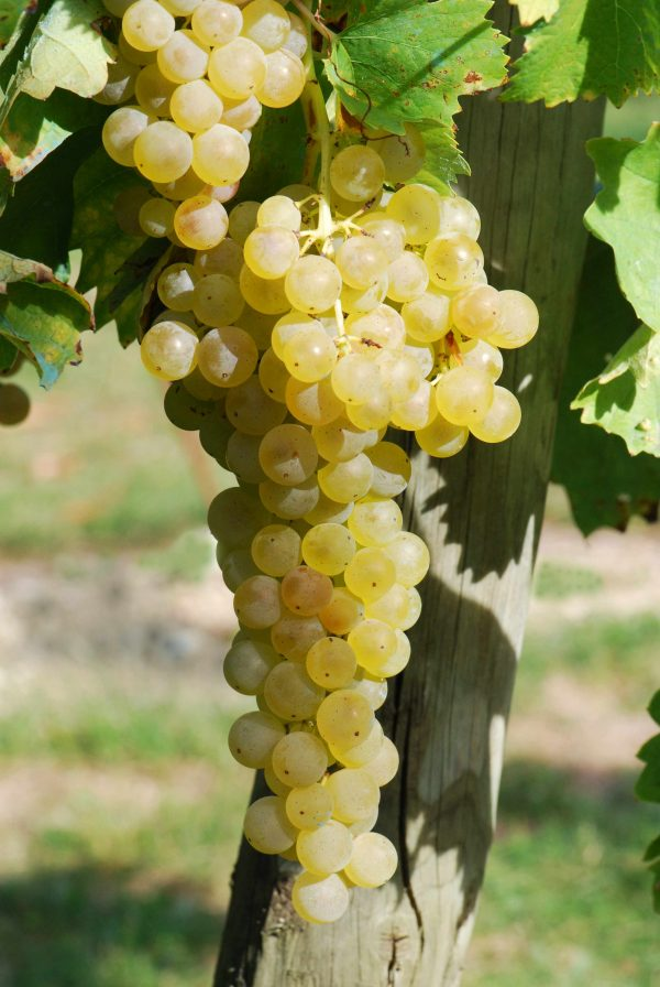 Trebbiano Grape ugni blanc raisin scaled