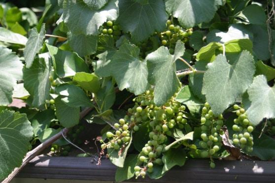 California Wild Grape vitus californica 28071