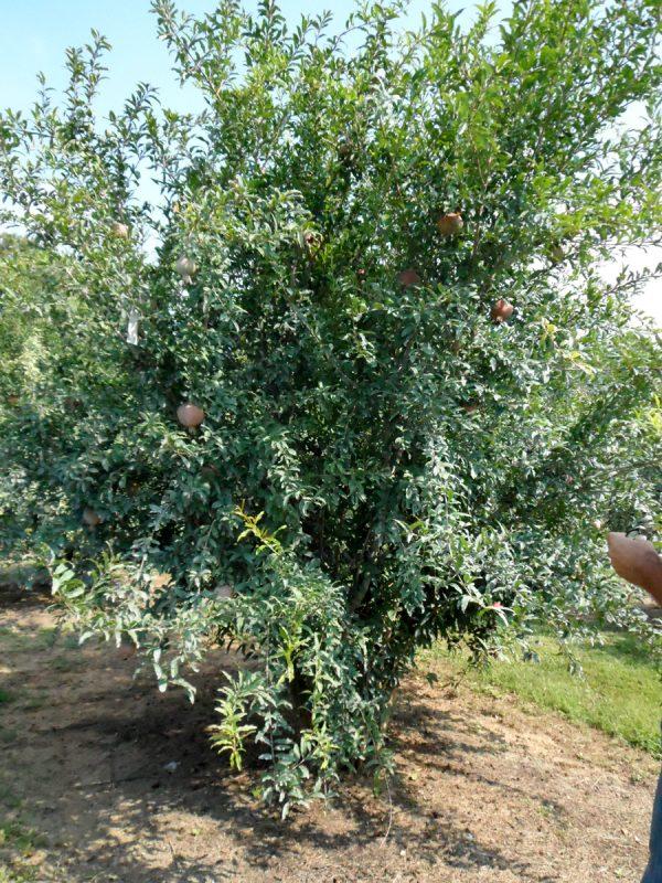 Kazaki (Organic) wadefarm.0913 043treekazakecroped