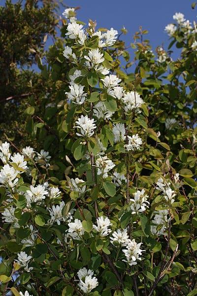Western Serviceberry (Amelanchier alnifolia) (Organic) westernserviceberry