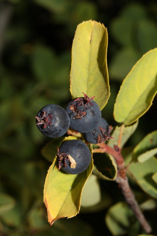 Western Serviceberry (Amelanchier alnifolia) (Organic) westernserviceberry 2 scaled