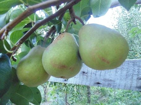 White Doyenne (Organic) white doyenne pear