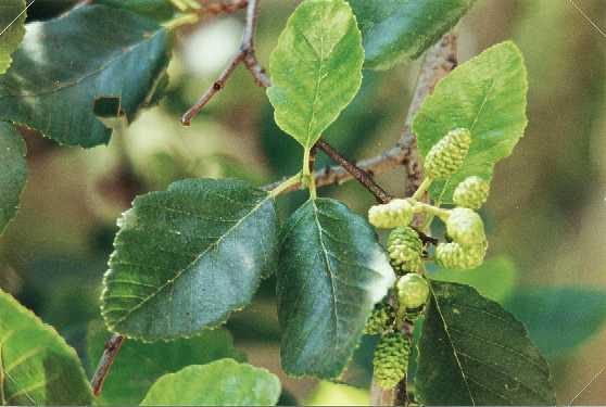 White Alder (Alnus rhombifolia) (Organic) whitealder2