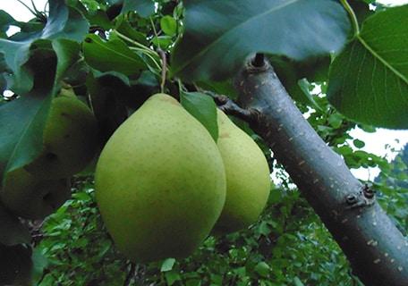 Ya Li Asian Pear (Organic) ya lif