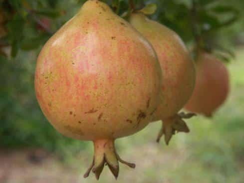 Alk Pust Ghermez Saveh (Organic) z alk pust ghermez saveh 20121110